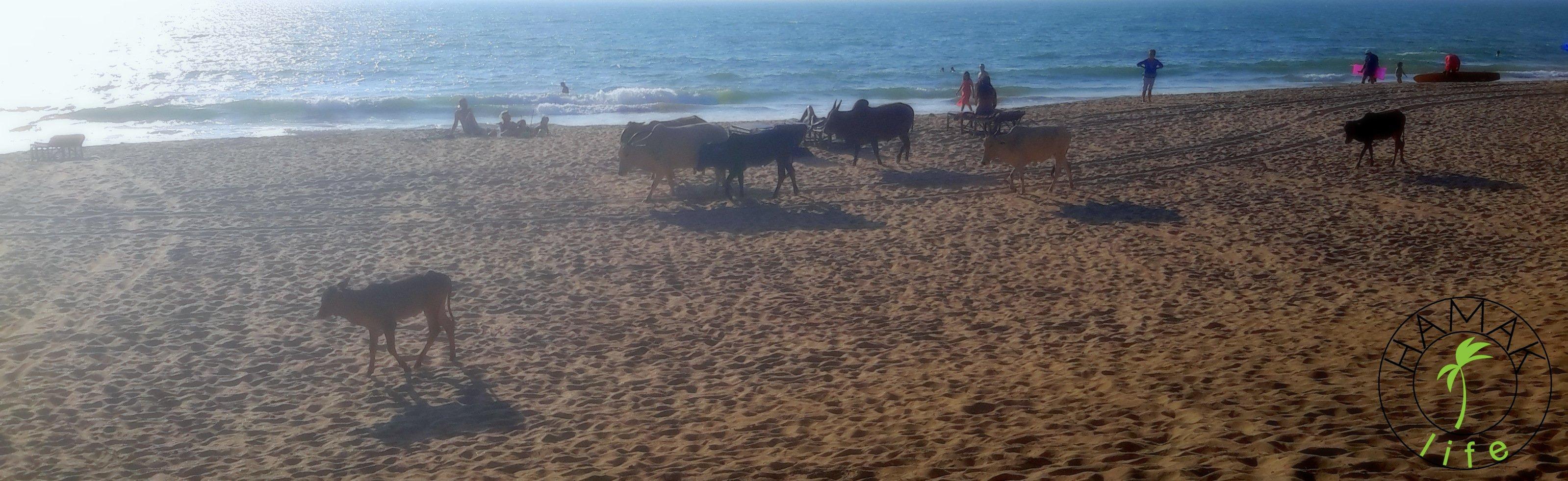 Plaża na Goa w Agonda Beach. Krowy w Indiach faktycznie są wszędzie.