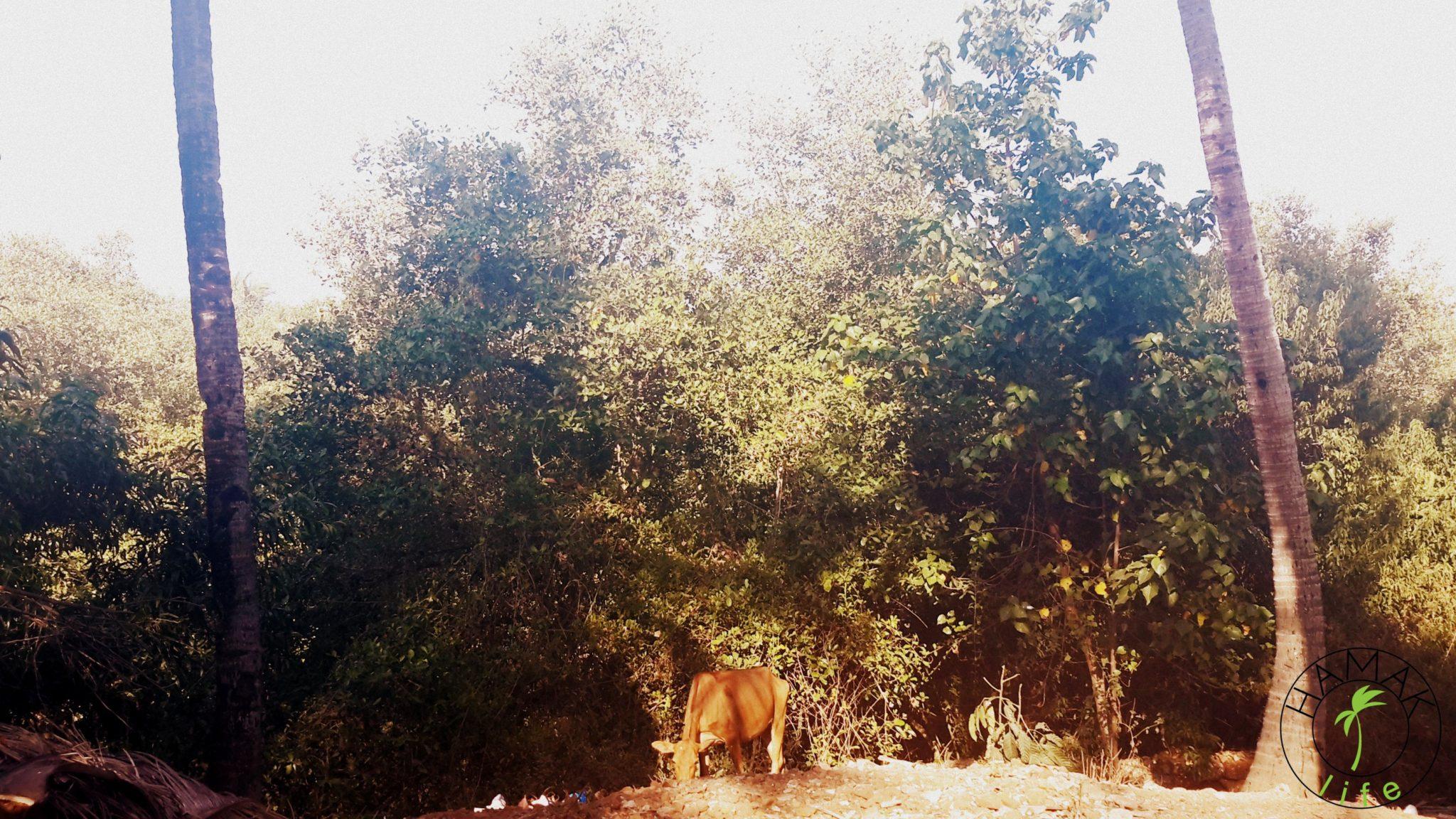 Krowy na Goa.