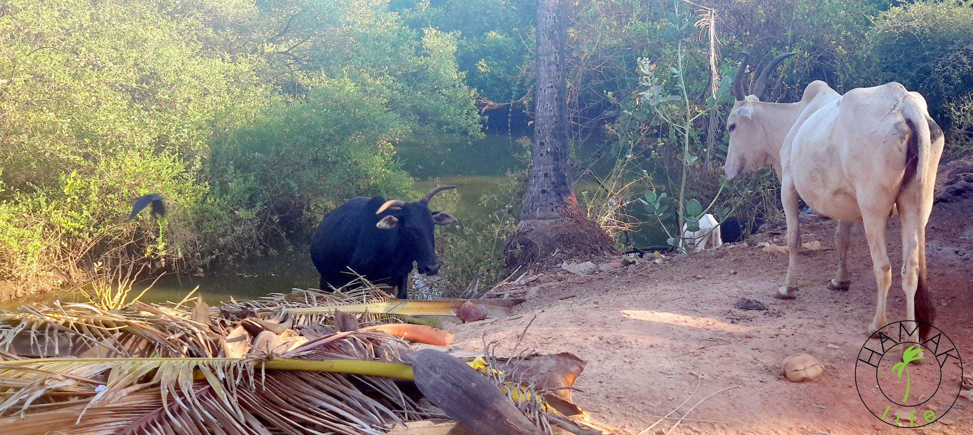 Krowy w Indiach. Na Goa w Agonda Beach.