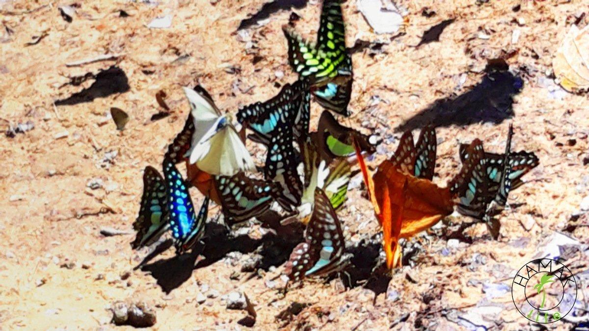 Motyle w Taman Negara