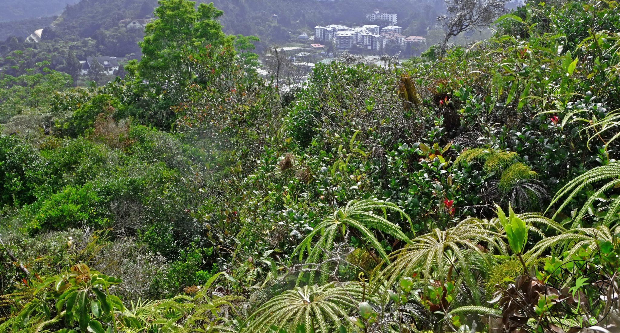 Cameron HIghlands w Malezji. Region plantacji truskawek, bakłażanów i herbaty. Za spożycie kokainy i innych narkotyków w Malezji grozi kara śmierci.