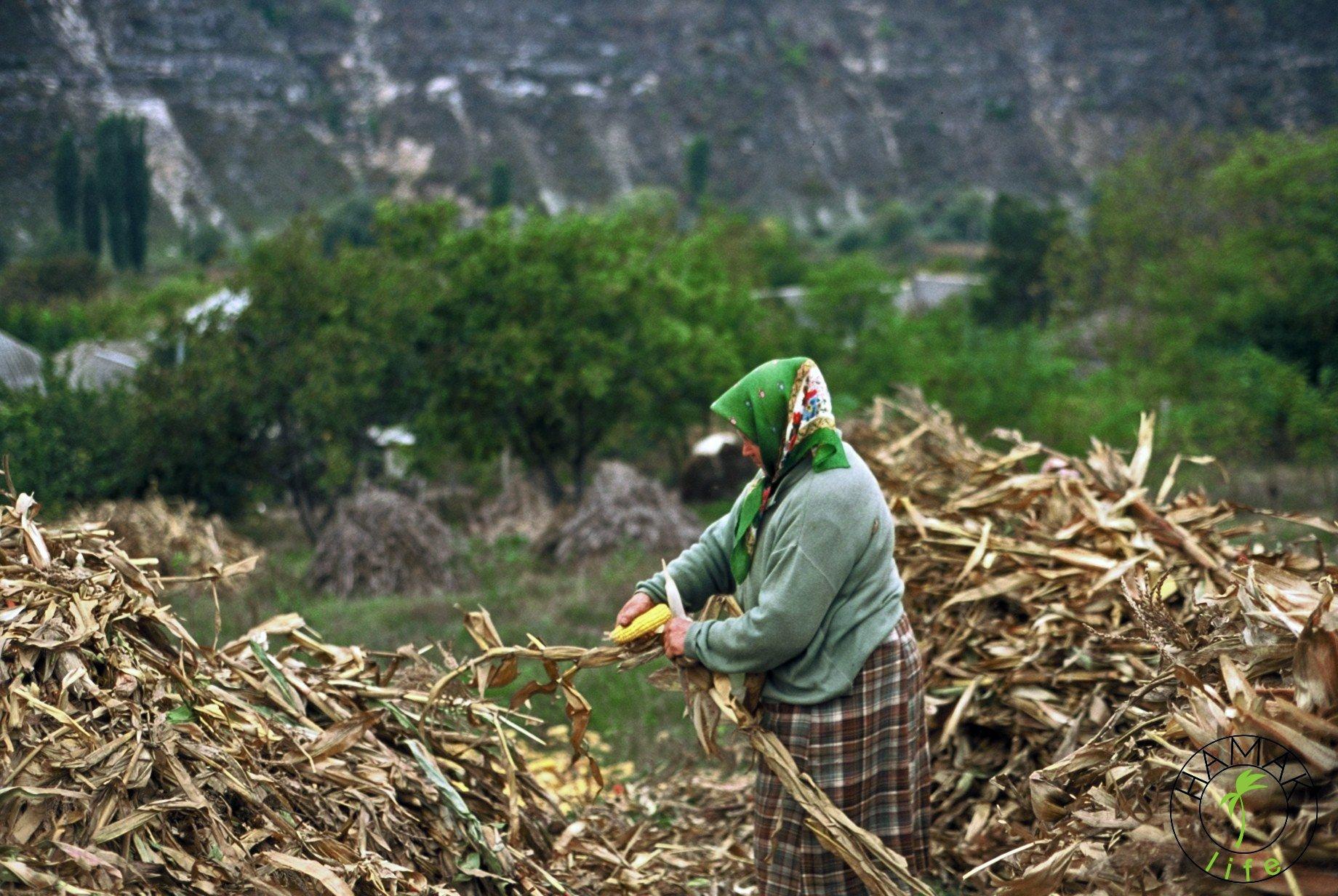 Reportaż z wioski w Mołdawii. Zbiory kukurydzy.