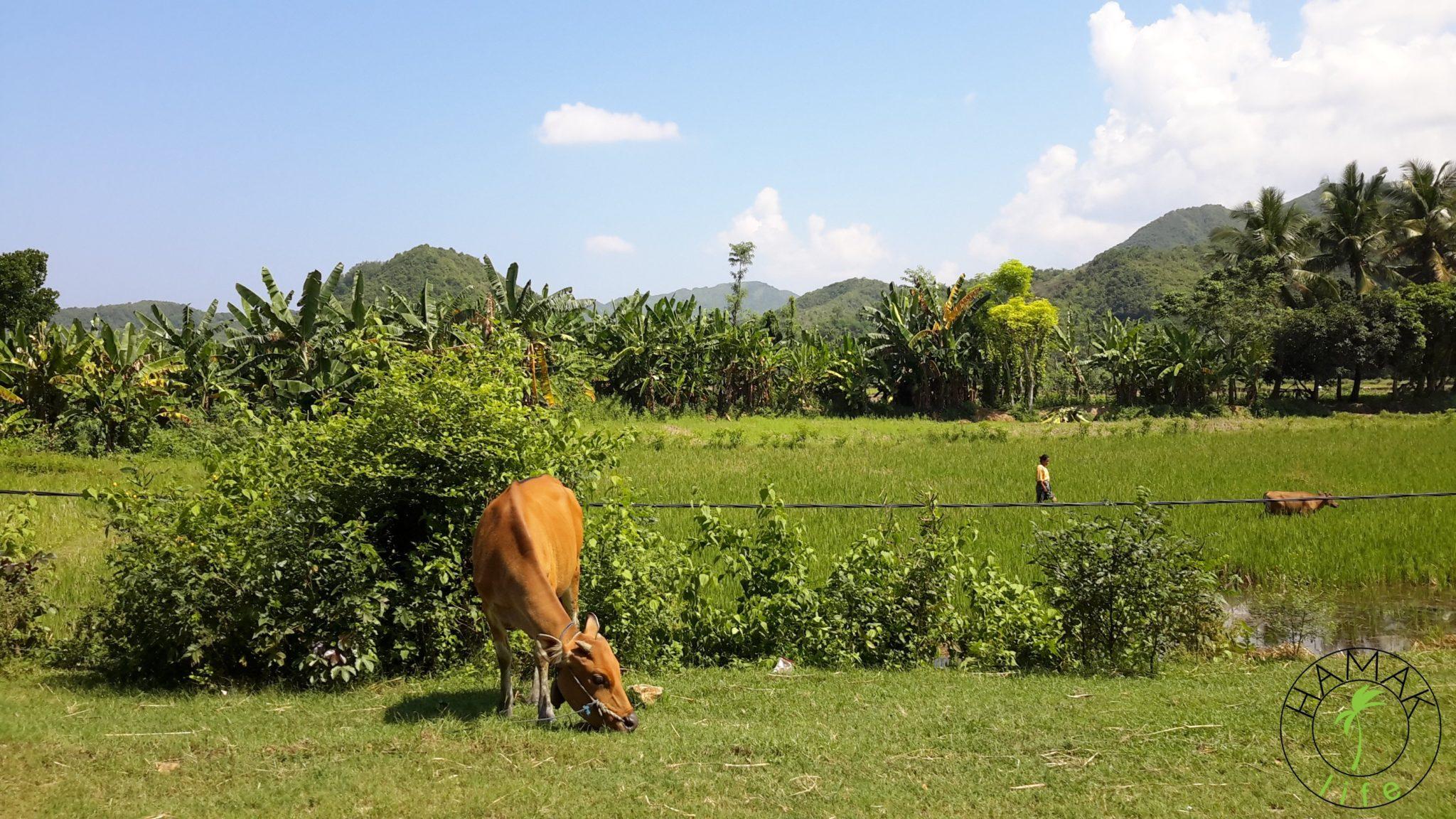 Pastwiska na Lombok.