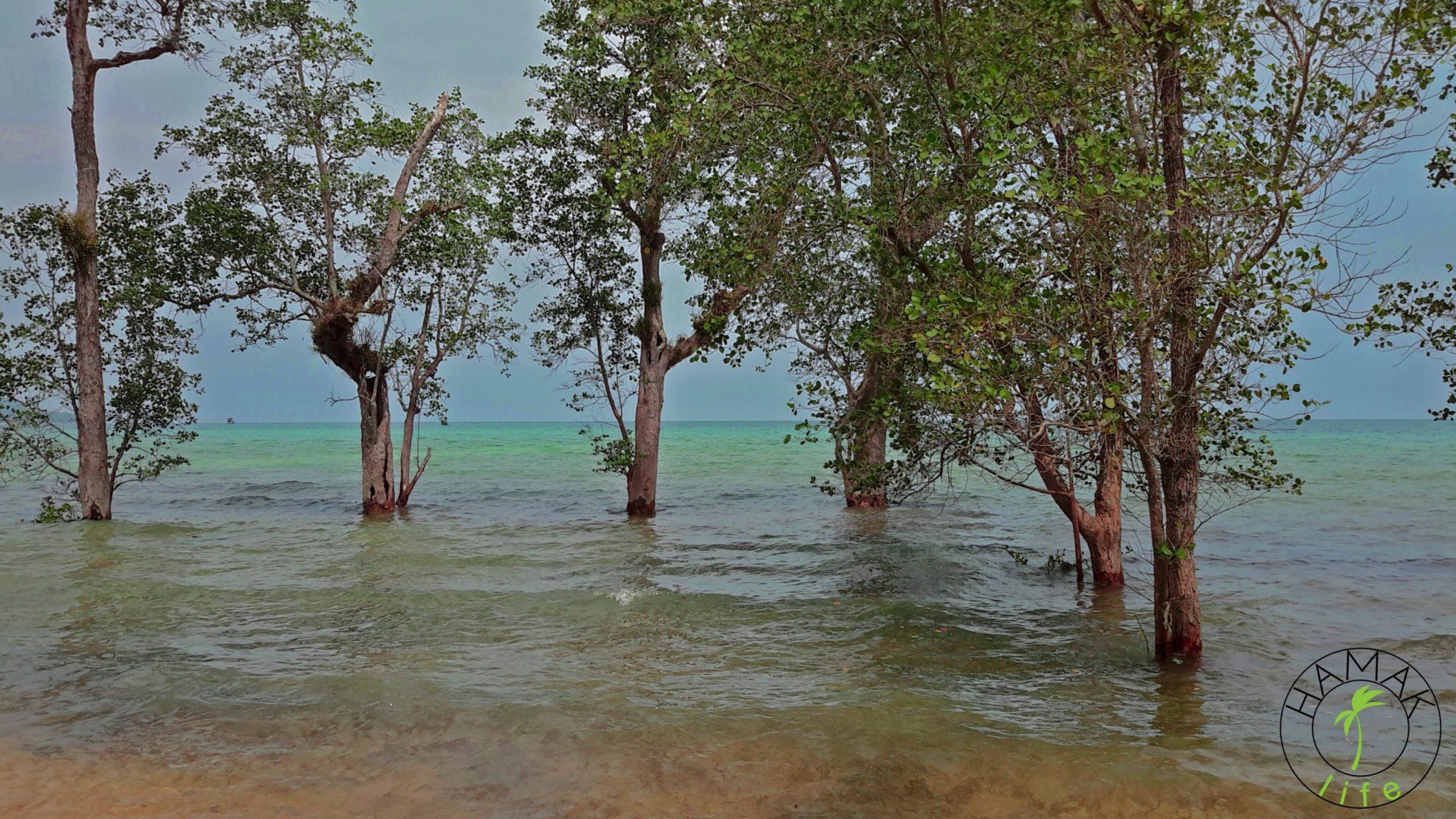 Pulau Tioman. Roślinność namorzynowa, czyli drzewa nad brzegiem morza.