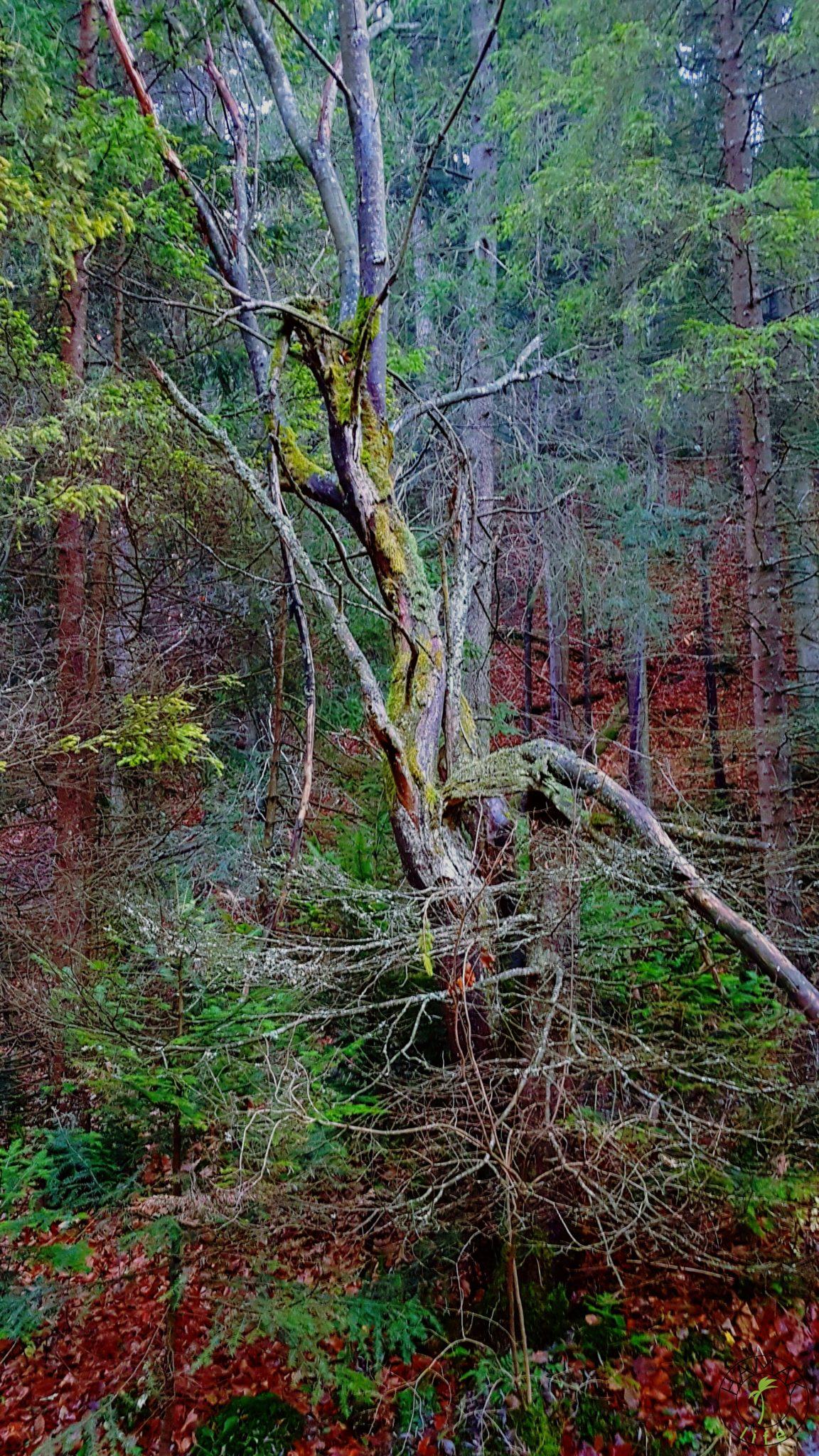 Drzewo na szlaku tatrzańskim
