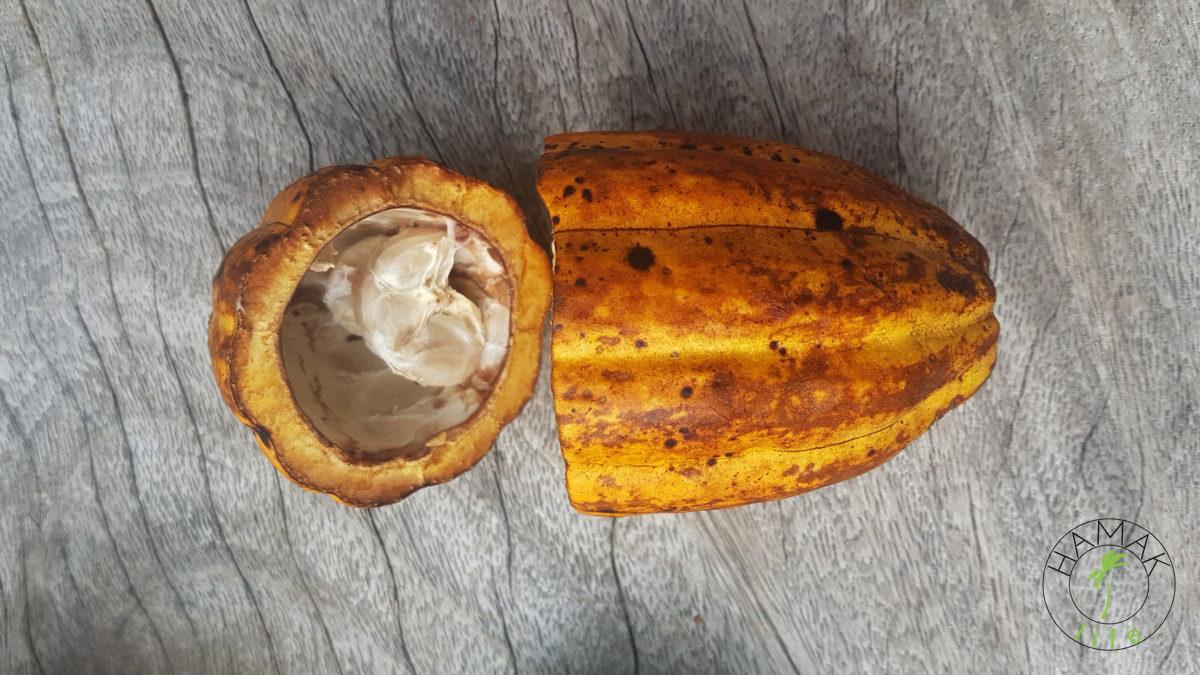 Świeży owoc kakaowca